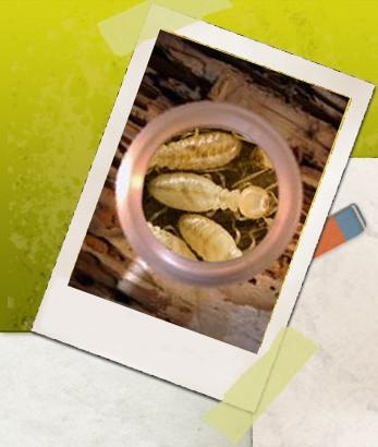 Termite Inspectors CT Logo